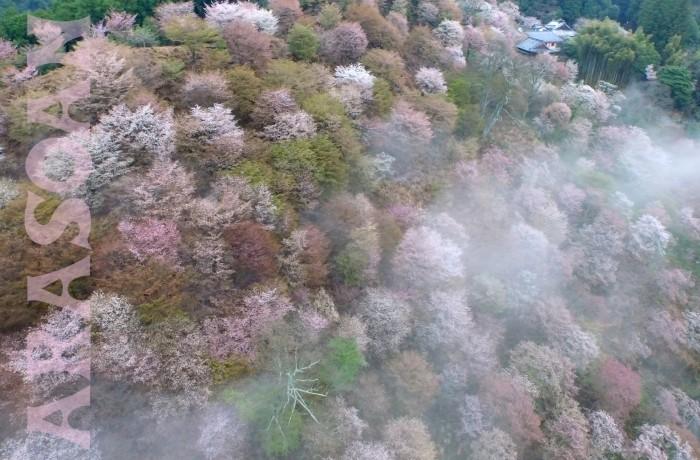 空撮 奈良県 吉野 千本桜